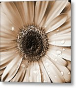 Raindrops On Gerber Daisy Sepia Metal Print