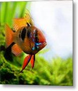 Ram Fish Metal Print