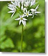 Ramsons Wild Garlic Allium Ursinum Metal Print