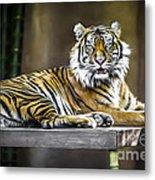 Ranu The Sumatran Tiger Metal Print