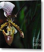 Rare Orchid - Paphiopedilum Gratrixianum Metal Print