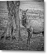 Raspberry Elk Black And White Metal Print