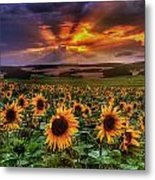 Rays Of Sunflowers Metal Print