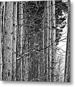 Reaching Pines Metal Print