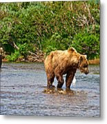 Ready To Pounce On A Salmon  In The Moraine River In Katmai National Preserve-ak Metal Print