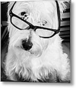 Really Portait Of A Westie Wearing Glasses Metal Print