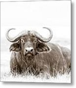Reclining Buffalo With Oxpecker Metal Print