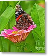 Red Admiral Butterfly And Zinnia Flower Metal Print
