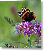 Red Admiral Butterfly On Butterfly Bush Metal Print