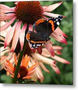Red Admiral On Coneflower Metal Print