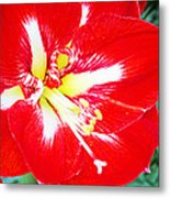 Red Amaryllis Metal Print
