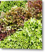 Red And Green Leaf Lettuce  Metal Print