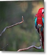 Red-and-green Macaw Sitting On Branch Metal Print