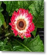 Red And White Gerber Daisy Metal Print