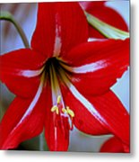 Red And White Lilly Metal Print by Debra Forand