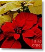 Red And White Poinsettias Metal Print