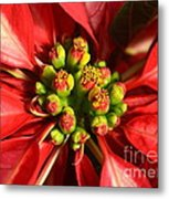 Red And White Poinsettia Flower Metal Print by Catherine Sherman