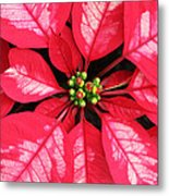 Red And White Poinsettia Metal Print