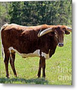 Red And White Texas Longhorn Bull Metal Print