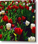 Red And White Tulip Art Metal Print