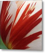 Red And White Tulip  Metal Print