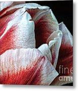 Red And White Tulip Closeup Metal Print