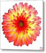 Red And Yellow Dahlia Metal Print