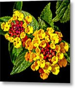 Red And Yellow Lantana Flowers With Green Leaves Metal Print