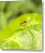 Red Ant On Green Leaf Metal Print