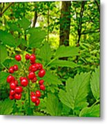 Red Baneberry Along Rivier Du Nord Trail In The Laurentians-qc Metal Print