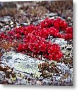 Red Bearberry Metal Print by Chris Heitstuman