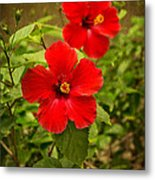 Red - Beautiful Hibiscus Flowers In Bloom On The Island Of Maui. Metal Print