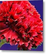 Red Beauty Carnation Metal Print