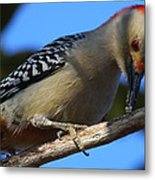Red-bellied Woodpecker Catching Grub Metal Print