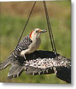 Red Bellied Woodpecker - Melanerpes Carolinus Metal Print