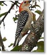 'red-bellied Woodpecker' Melanerpes Carolinus  Metal Print