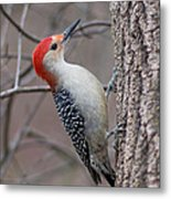Red Bellied Woodpecker Pose Metal Print