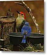 Red- Bellied Woodpecker Metal Print