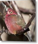 Red Billed Firefinch Metal Print