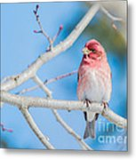 Red Bird Blue Sky Warm Sun Metal Print
