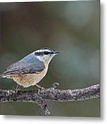 Red-breasted Nuthatch Metal Print