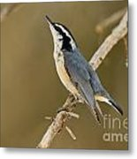 Red-breasted Nuthatch Pictures 76 Metal Print