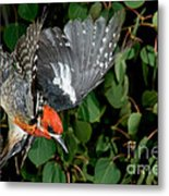 Red-breasted Sapsucker Metal Print