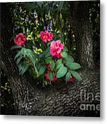 Red Camellias Metal Print