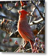 Red Cardinal Pose Metal Print