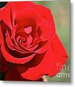 Red Carpet Rose Metal Print