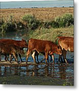 Red Cattle Metal Print