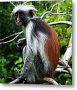 Red Colobus Monkey Metal Print