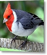 Red Crested Cardinal Metal Print