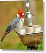 Red Crested Cardinal Metal Print